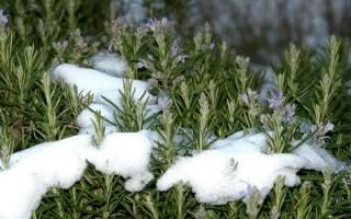 Как хранить розмарин: сушим, морозим, делаем настойки. как можно сохранить розмарин свежим в домашних условиях на зиму
