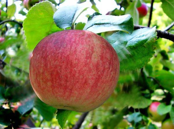 Яблоня легенда: особенности сорта и ухода