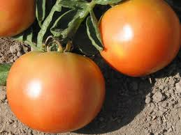 Томат лонг кипер: описание и характеристика сорта, урожайность