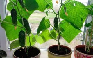 Огурцы дружная семейка: описание и характеристика сорта, урожайность с фото