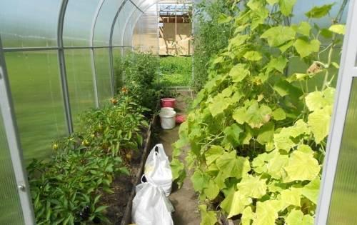 Перец и баклажаны в теплице – вместе с огурцами и помидорами
