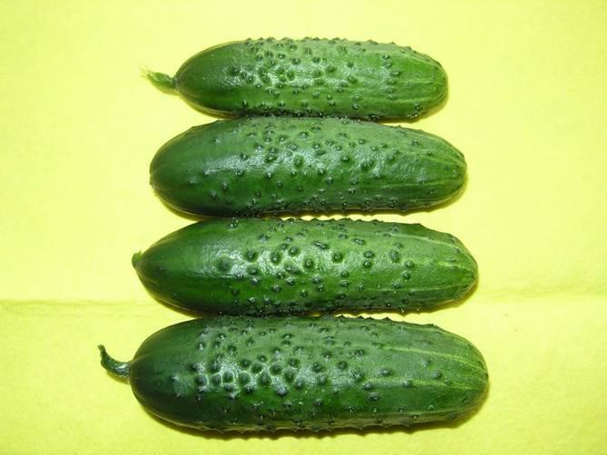 Описание сорта огурца атлантис f1, особенности выращивания и урожайность