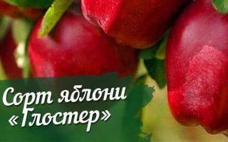 Правила ухода и схема посадки полукарликовых яблонь, их выращивание и регионы распространения