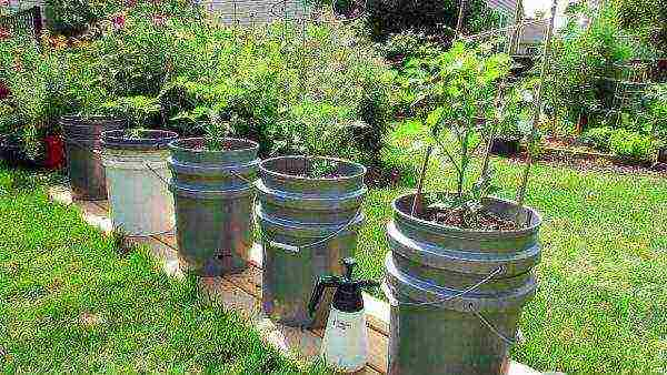 Посадка томатов пометоду галины кизимы: пример пеленочной технологии для умных лентяев