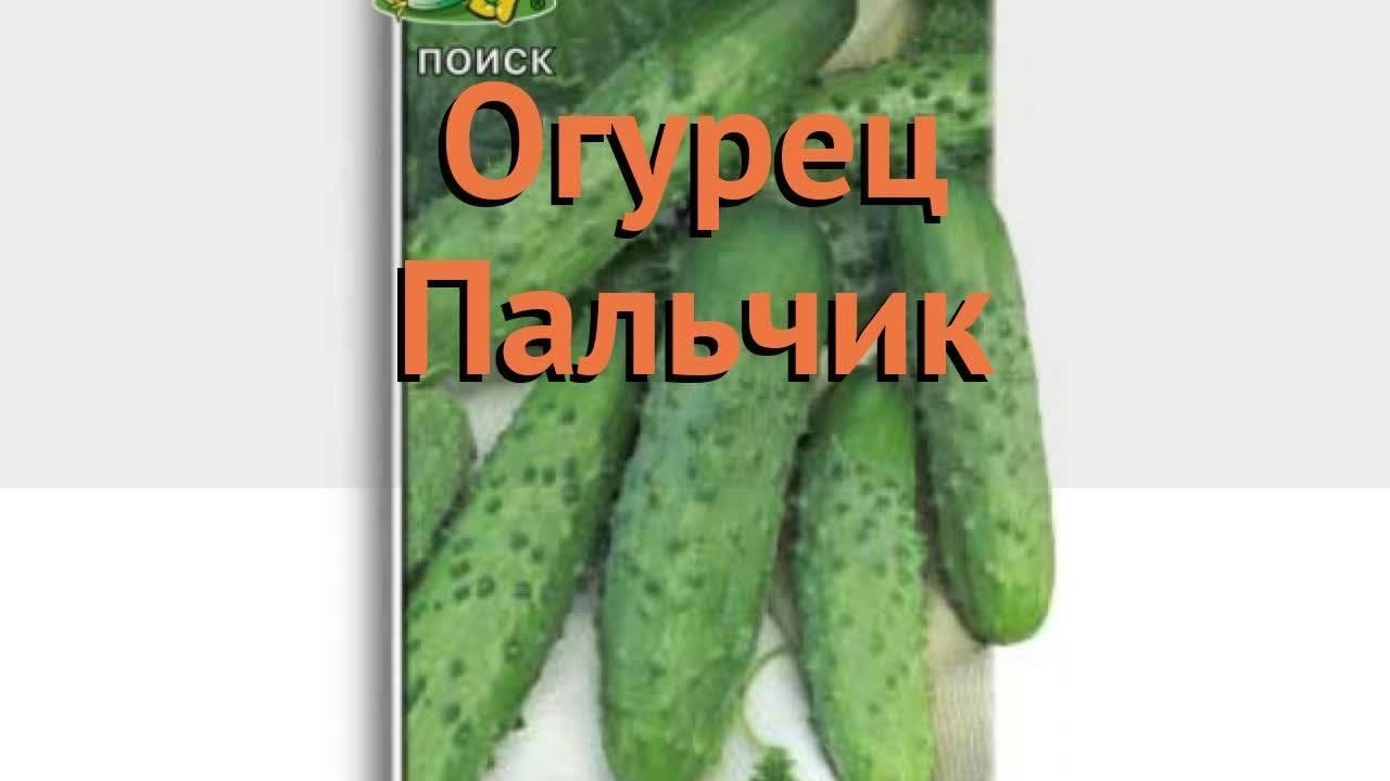 Урожайный и неприхотливый в уходе сорт огурцов «пальчики» с отличными вкусными плодами
