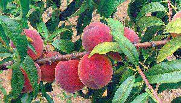 Cорта персика для подмосковья