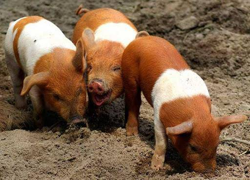 Свинья крупная белая: происхождение породы и перспективы разведения