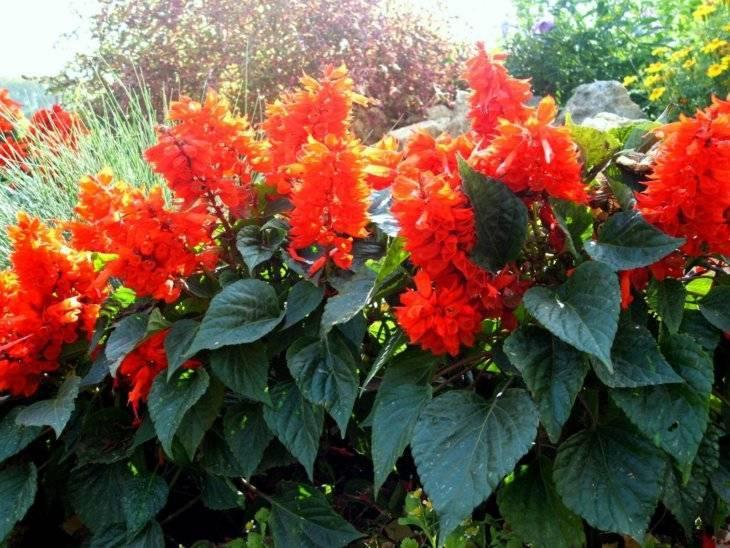 Сальвия: фото цветов, особенности посадки, уход