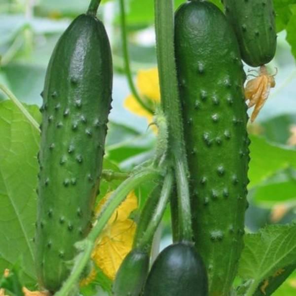Огурец изящный – фаворит садоводов
