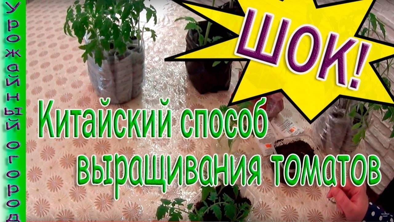 Выращивание рассады томатов китайским методом