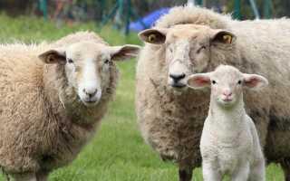 Описание и характеристика самых лучших мясных пород овец