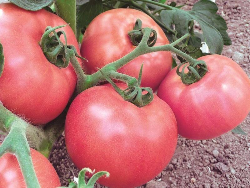 Описание томатов серии инжир: розовый, красный и желтый