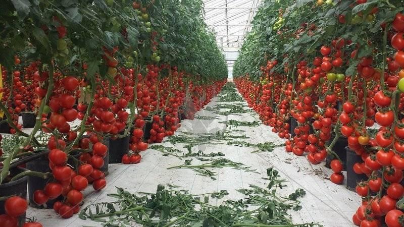 Томаты по китайской технологии: бóльшая урожайность при меньших габаритах