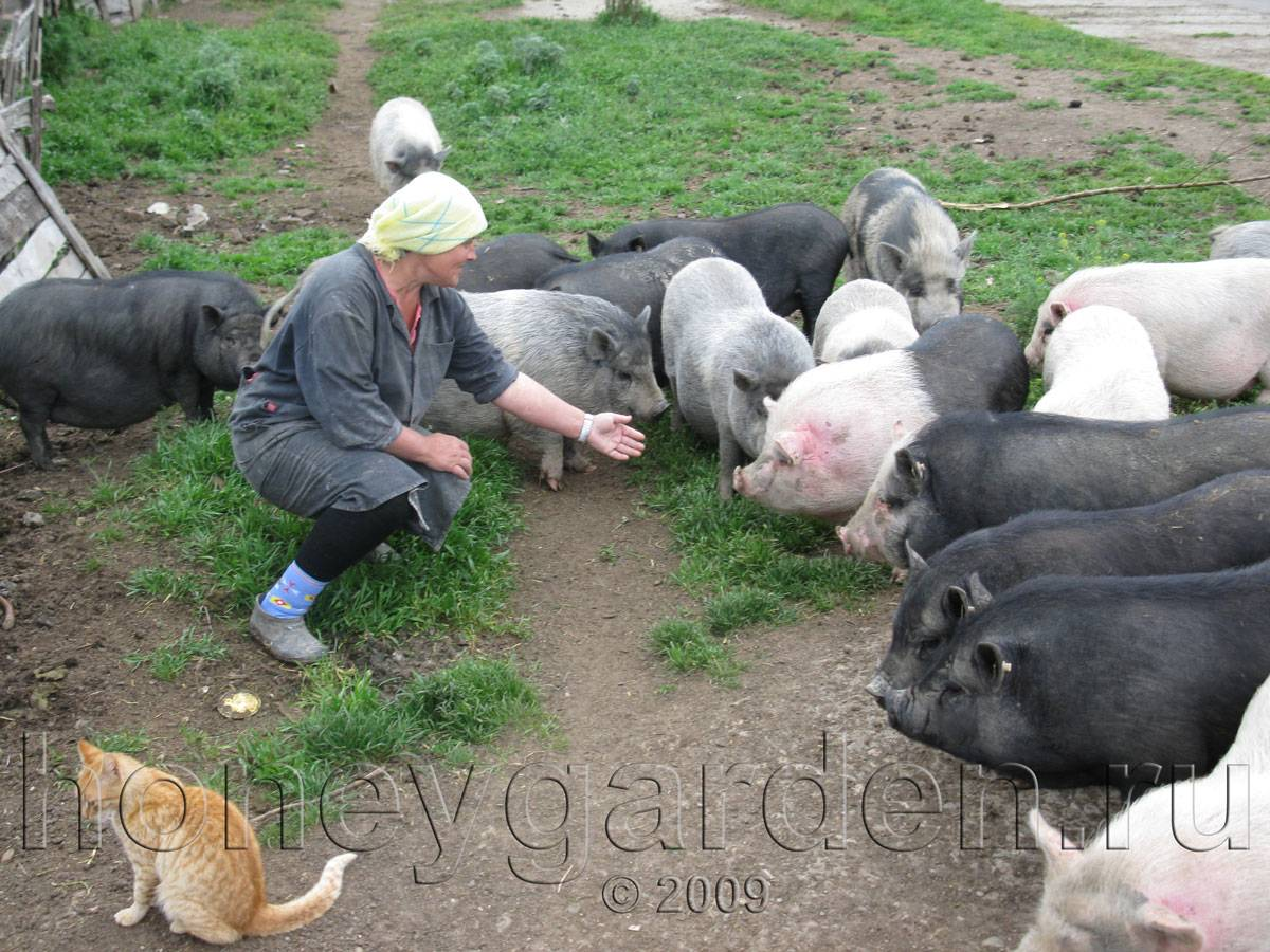 Вьетнамская порода свиней описание внешнего вида и основы по разведению