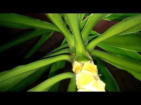 Юкка — желтеют и сохнут листья, что делать