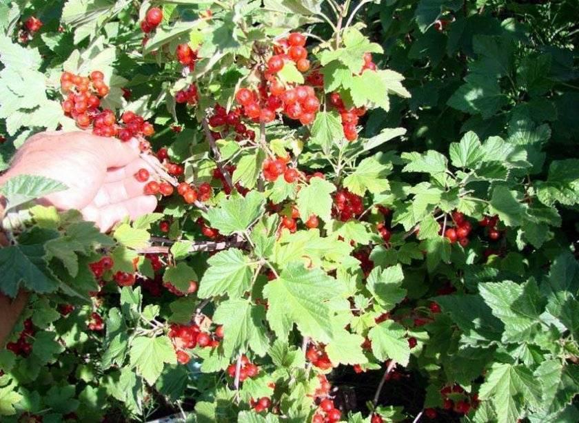 Мармеладница – красная смородина с огромным урожаем