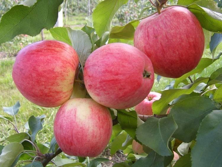 Яблоня макинтош — познаем со всех сторон