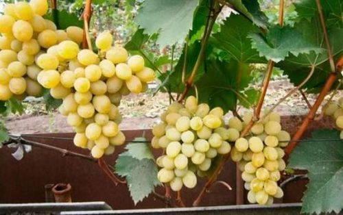 Описание и технология выращивания винограда сорта рута