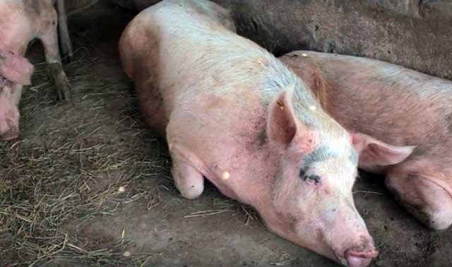 Когда начинает гулять свинья в первый раз