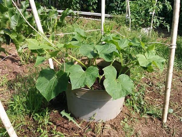 Как посадить и без хлопот вырастить огурцы в бочке
