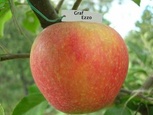 Колоновидная яблоня васюган для холодных регионов
