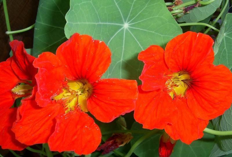 Настурция: выращивание из семян, сроки посадки, уход