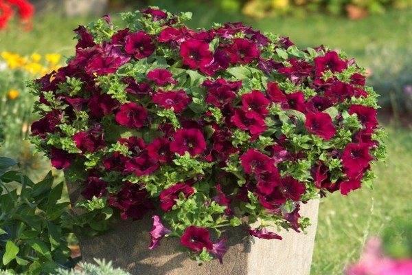 Петуния: лучшие сорта цветов, посадка и уход