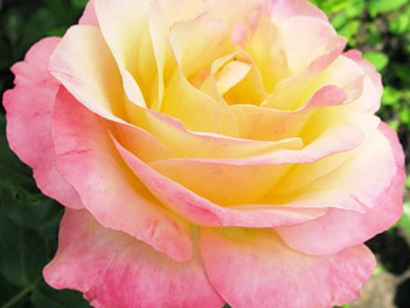 Gloria dei — знаменитая ярко-желтая чайно-гибридная роза от французской компании meilland
