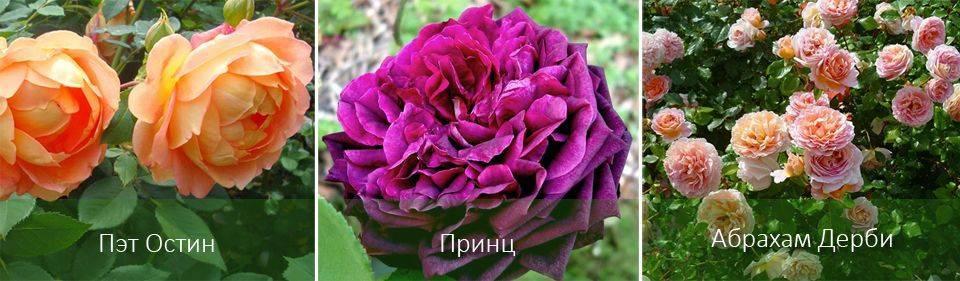 Роза уизли (wisley) — описание сортового шраба