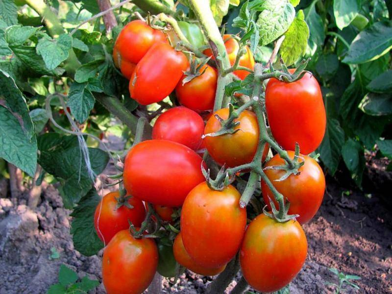 Сорт томата «сибирская тройка»: фото, отзывы, описание, характеристика, урожайность
