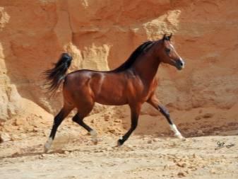 Скорость лошади, какую скорость может развить лошадь
