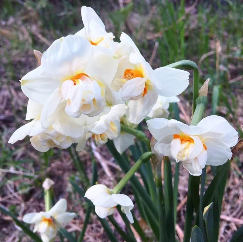 Нарцисс: выращивание в саду, виды и сорта