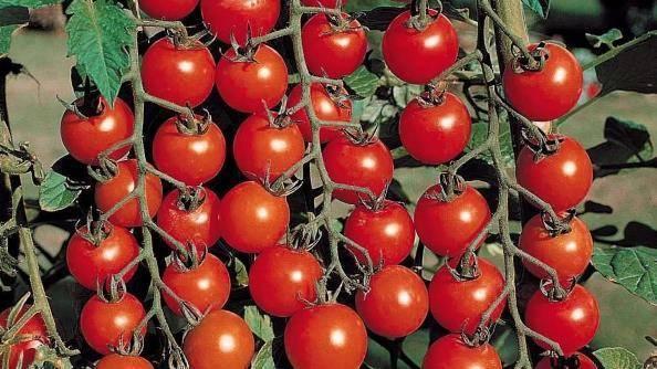 Томат момент: характеристика и описание сорта, урожайность с фото