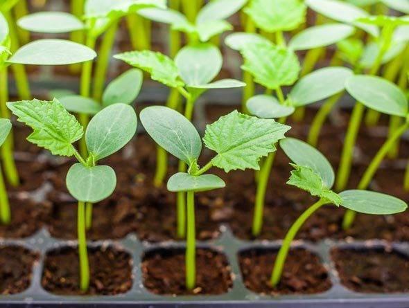Огурцы сибирская гирлянда: новый сверхурожайный сорт