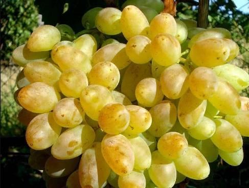 Виноград «кишмиш лучистый»: лучший из бессемянных