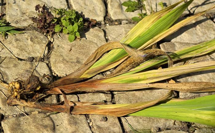 Почему желтеют листья у гладиолусов: что делать?