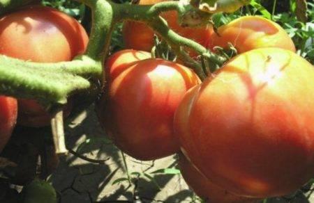 Помидоры примадонна f1: описание и особенности выращивания гибридного сорта