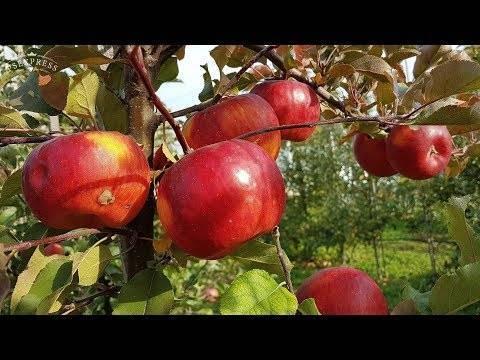 Особенности яблони июльской черненко описание фото