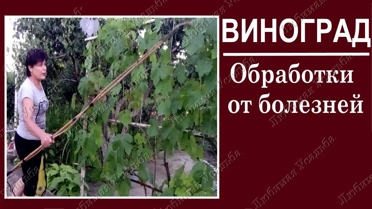 Виноград: посадка и уход в открытом грунте за виноградником, болезни лозы с фото, для чего нужен уход, видео о вредителях винограда