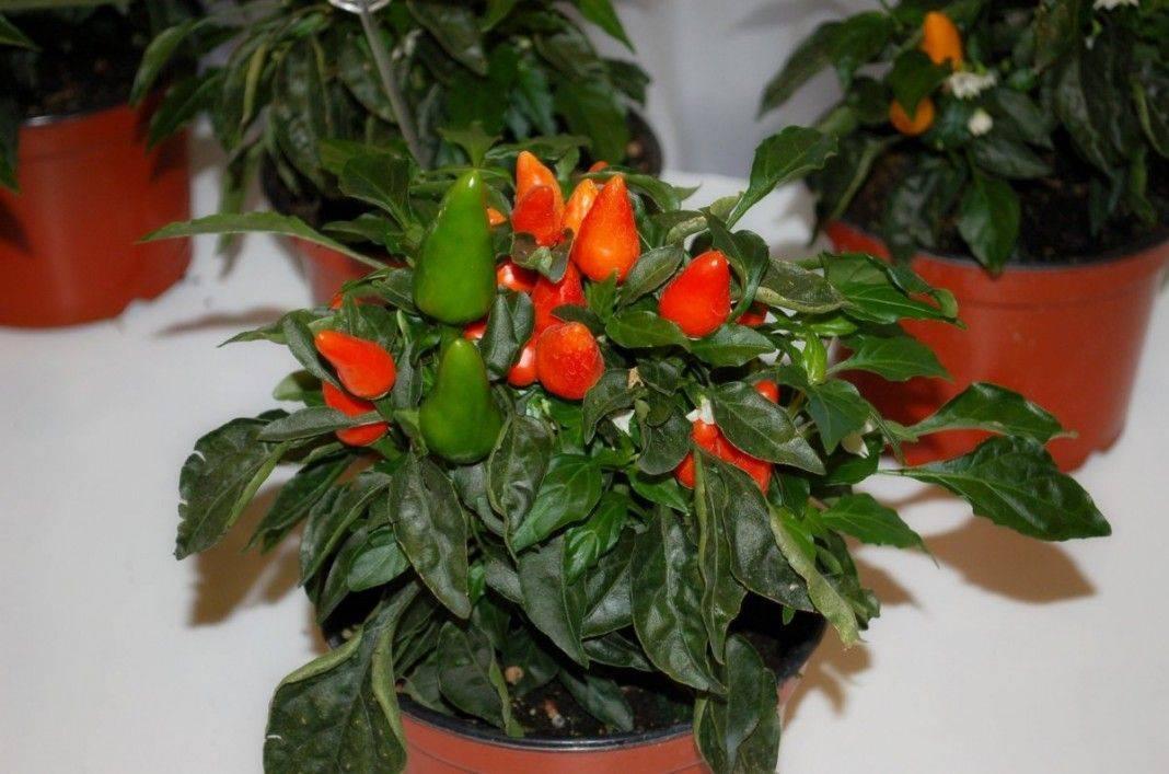 Перец Хабанеро: выращивание дома, описание сорта с фото