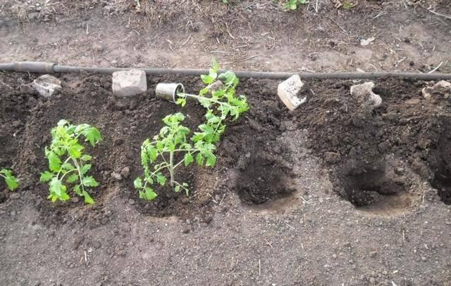Как посадить переросшую рассаду огурцов: как посадить правильно своими руками? 110 фото основных способов посадки и видео советы экспертов