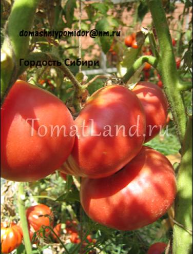 Томат биф-типа гордость сибири: урожайность, описание, отзывы