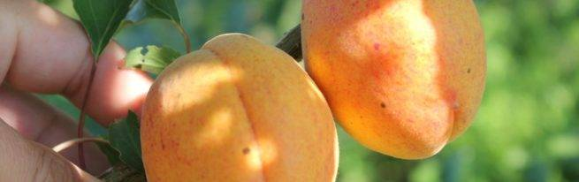 Абрикос краснощекий: выращивание и уход