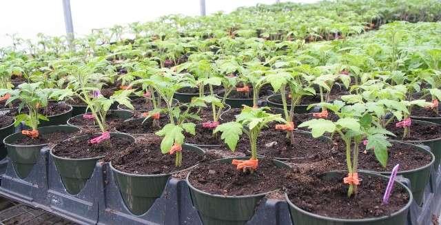 Чем лучше подкормить рассаду перца для роста в домашних условиях