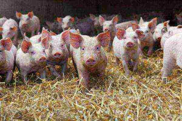 Чем кормить свиней для быстрого роста в домашних условиях