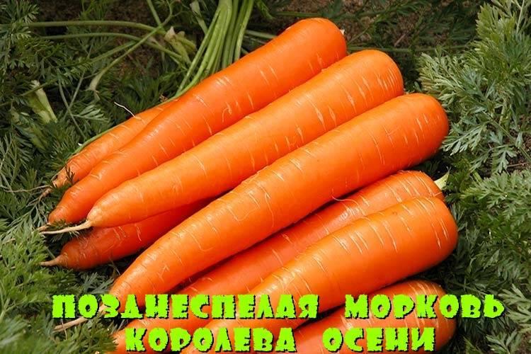 Морковь абако f1: описание сорта, посадка и уход