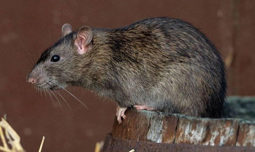 Надежные способы избавления от крыс в курятнике, методы борьбы