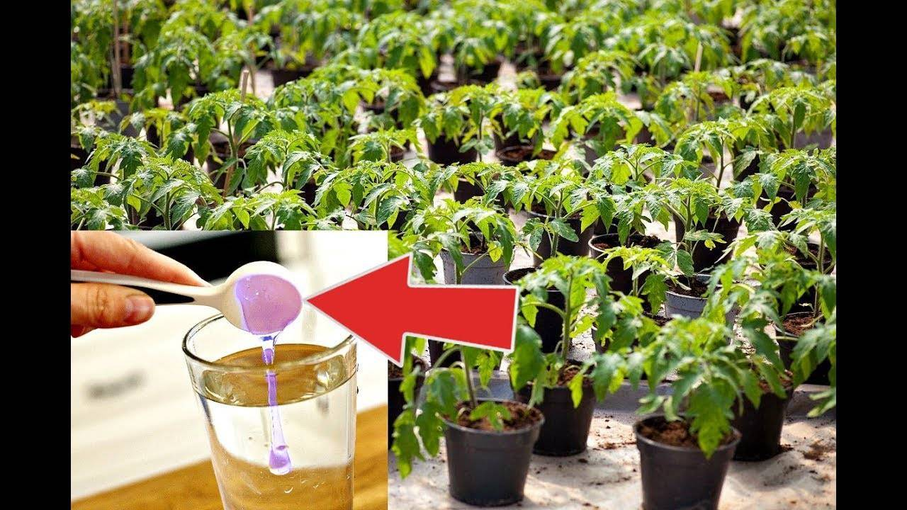 Чем подкормить рассаду помидор после пикировки
