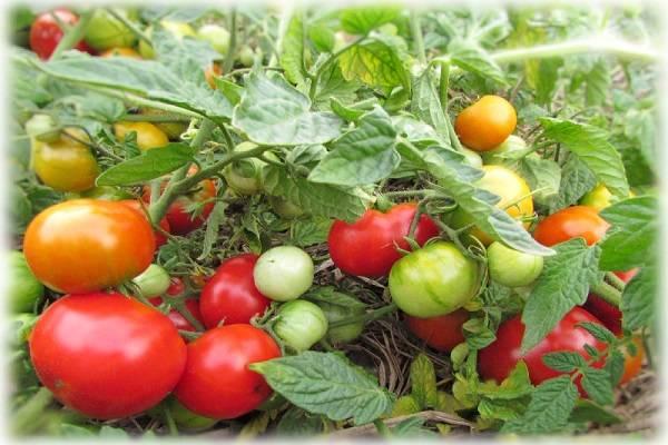 Неустойчивый к заболеваниям, но очень вкусный томат — турбореактивный: отзывы, описание сорта