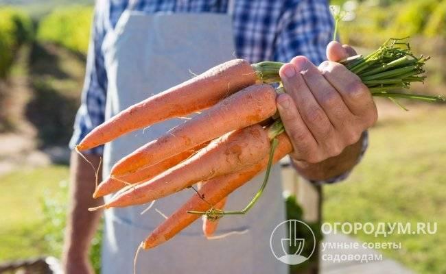 Гибрид моркови для долгого хранения канада f1